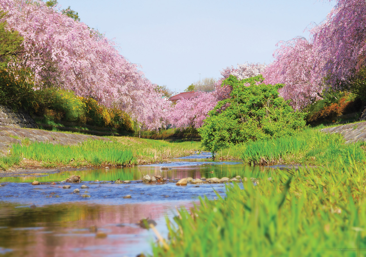 野川のしだれ桜(むさこくらぶ(2016年3月号(vol.109))今月の表紙)