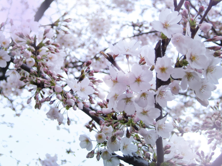 Royalty Free Photos at No Charge - Cherry Blossoms - FOC series by YujiKudo.com